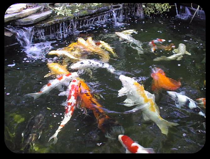 Services for Formal koi pond